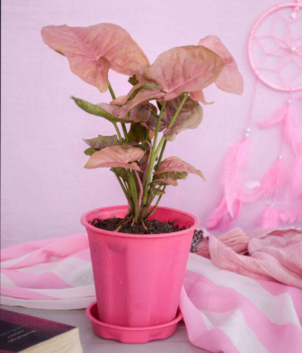 Buy Pink Syngonium neon plant online - Nursery Nisarga