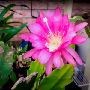 Saussurea obvallata - Pink Brahma Kamal (ब्रह्म कमल)plant online at nursery nisarga
