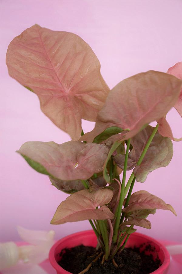 Buy Pink syngonium leafs