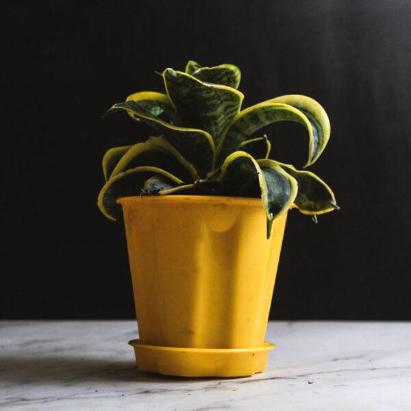 Buy Sansevieria Tornado, Twisted Sansevieria trifasciata plant- Nursery Nisarga