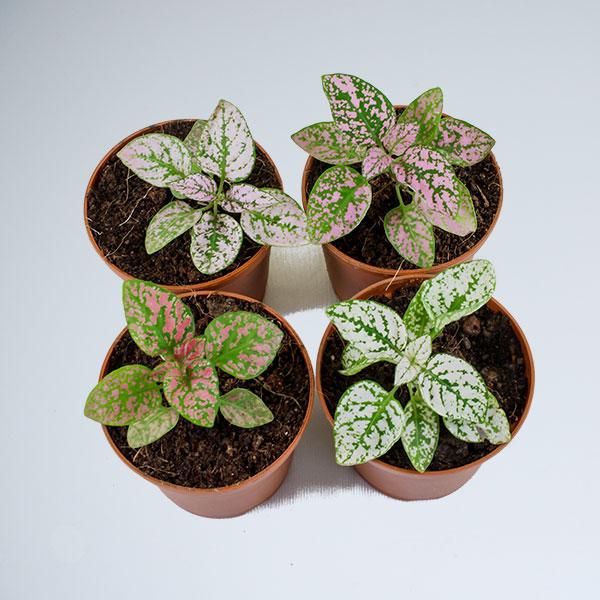 Buy Polka Dot Plant - Nursery Nisarga