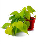 Buy Philodendron Oxycardium Golden Plant - Nursery Nisarga