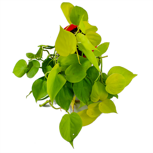 Buy Philodendron Oxycardium Golden Plant - Nursery Nisarga