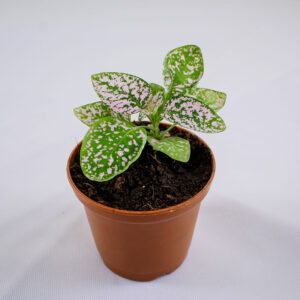 Buy Polka Dot Plant - Nursery Nisarga