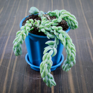 Buy Donkey Tail at best price online - Nursery Nisarga