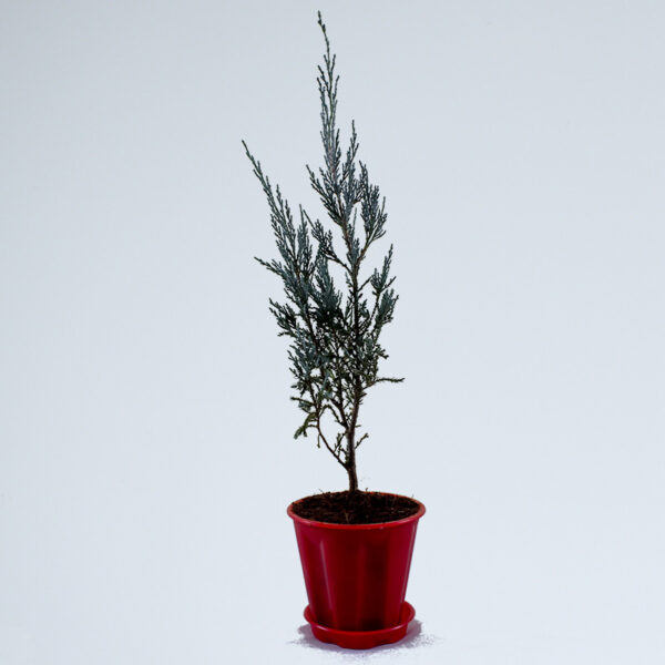 Buy Silver Pine Plant - Nursery Nisarga