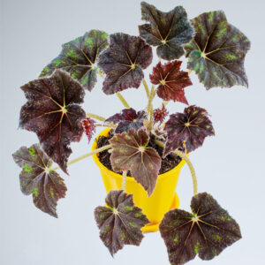 Buy Firefade Begonia Online at Nursery Nisarga