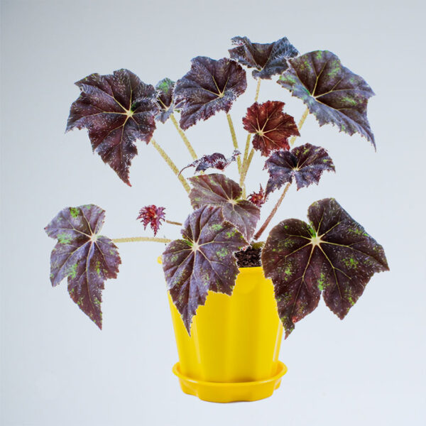Buy Firefade Begonia Online at Nursery Nisarga