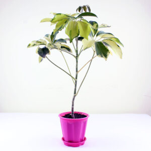 Buy Schefflera Arboricola, Dwarf Umbrella Tree - Nursery Nisarga