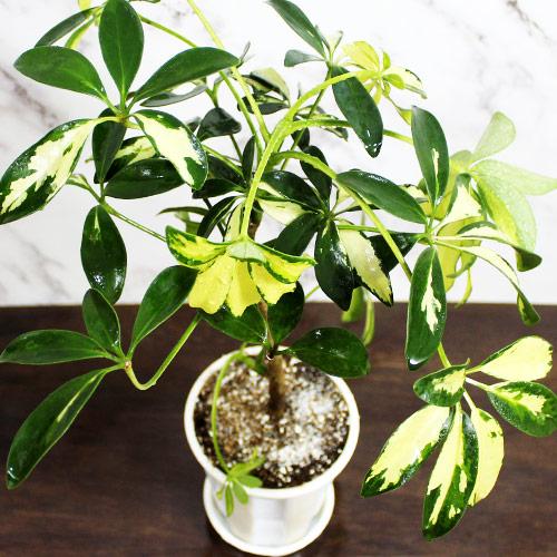 Buy Schefflera Arboricola, Dwarf Umbrella Plant (4 Inches Pot Size) - Nursery Nisarga