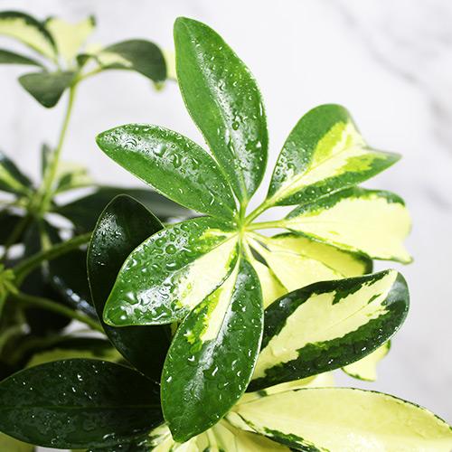 Buy Schefflera Arboricola, Dwarf Umbrella Plant (6 Inches Pot Size) - Nursery Nisarga
