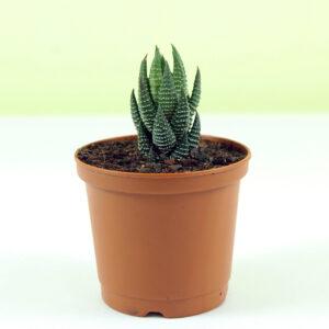 Buy Zebra Haworthia plant online - Nursery Nisarga
