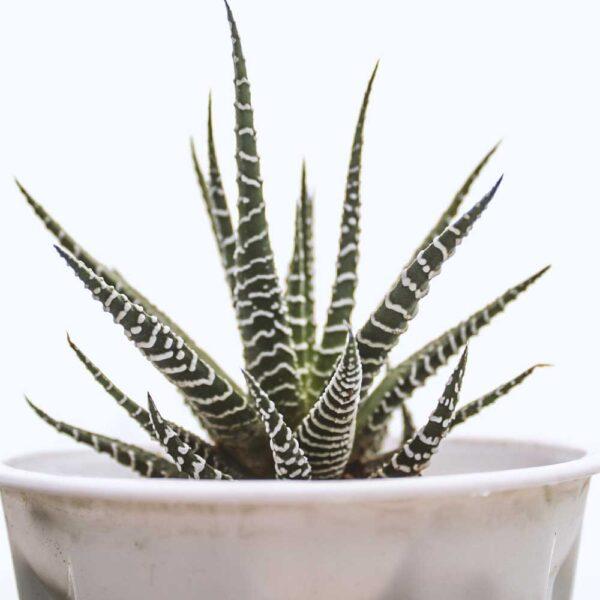 Buy Zebra Haworthia, Haworthia fasciata plant online - Nursery Nisarga
