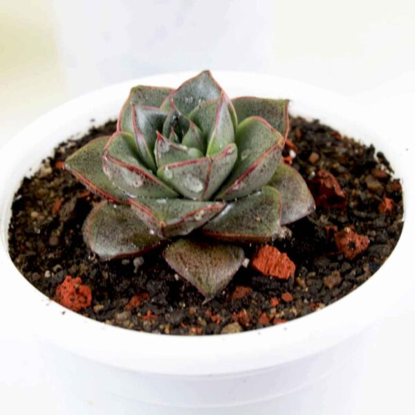Buy Vishnu Kamal, Echeveria Lotus Chinensis Plant online - Nursery Nisarga