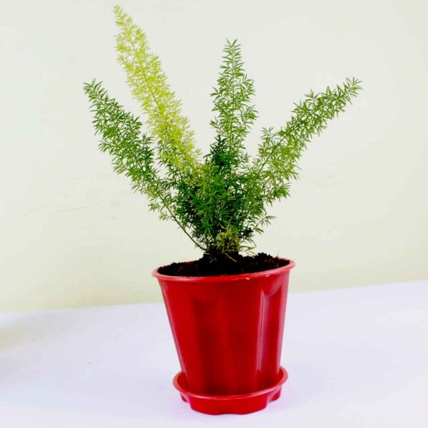 Buy Asparagus Foxtail Fern online