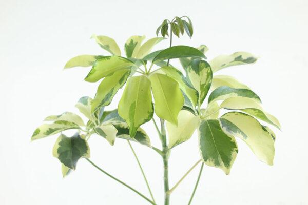 Buy Schefflera Arboricola, Dwarf Umbrella Tree - Nursery Nisarga