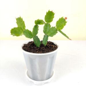 Buy Christmas cactus, Schlumbergera - plant online at Nursery Nisarga