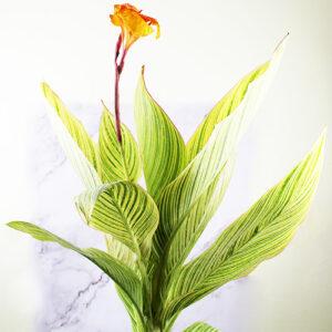 Buy Variegated Canna Lily Plant - Nursery Nisarga