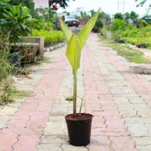 Buy Variegated Canna Lily Plant - online - Nursery Nisarga