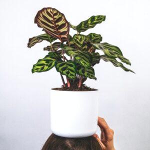 Buy Calathea Makoyana, peacock calathea - plant online at Nursery Nisarga