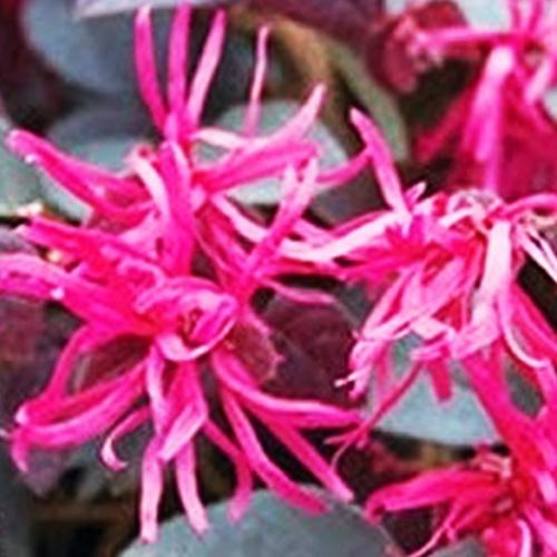 Buy Loropetalum Chinense, Chinese fringe flower Plant - Nursery Nisarga