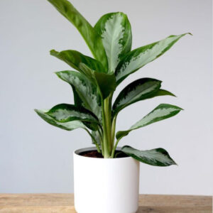 Buy Aglaonema-Diamond-Bay-online - Nursery Nisarga