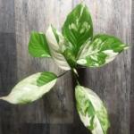 "Buy Aglaonema Modestum Plant, ""Spilt Milk"" Chinese Evergreen"
