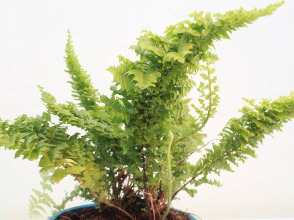 Buy Fluffy Ruffle fern online at Nursery Nisarga