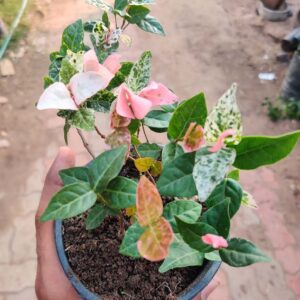 Buy Ficus Repens, Ficus Pumila - Creeping fig online at Nursery Nisarga