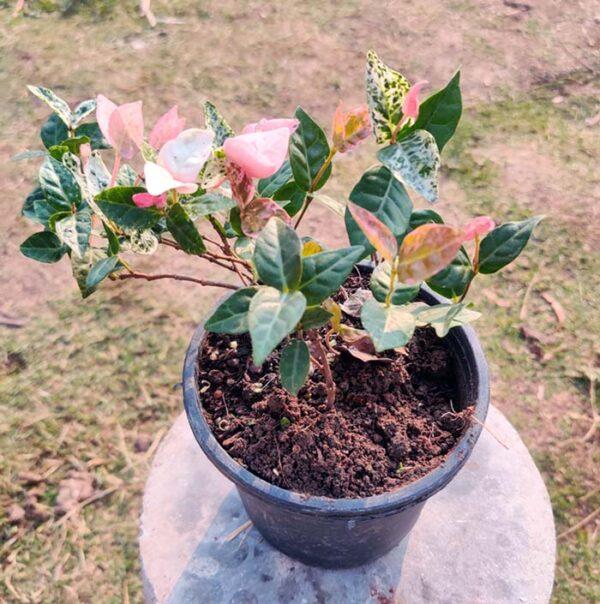 Buy Ficus Repens, Ficus Pumila - Creeping fig online at Nursery Nisarga