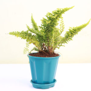 Buy Fluffy Fern, Ruffle fern online at Nursery Nisarga