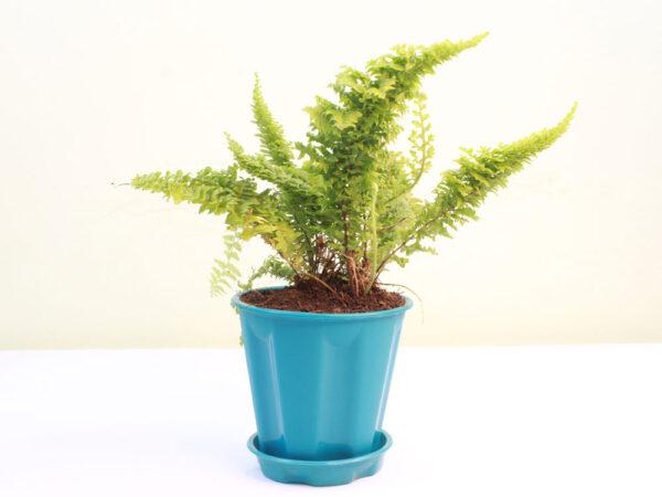 Buy Fluffy Fern, Ruffle fern online at Nursery Nisarga