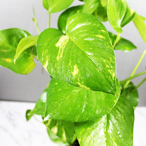 Buy Green Pothos, Malabar chestnut, Money plant (Big leafs) - Nursery Nisarga