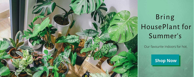 Summer's indoor plants from Nursery Nisarga