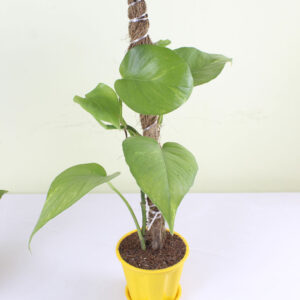 Buy Big Leaf Money Tree plant, Guiana Chestnut - Pachira plant -