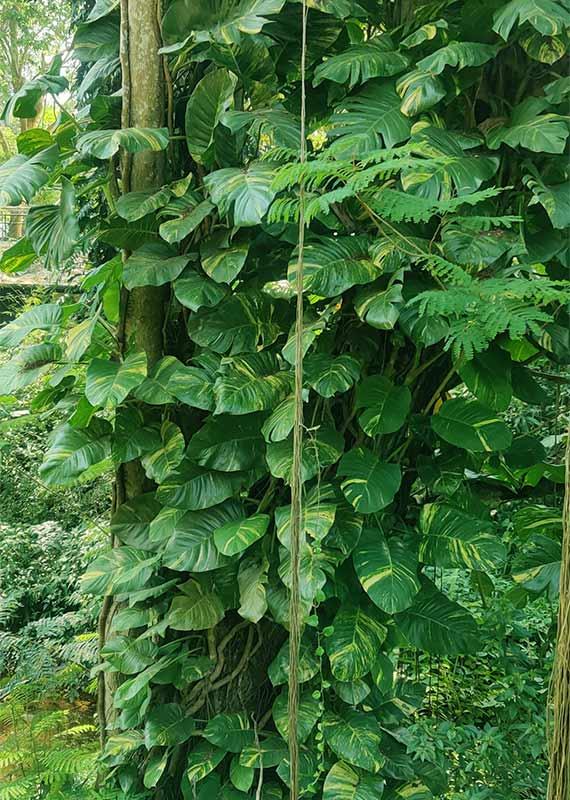 Buy Big Leaf Money Tree plant, Guiana Chestnut - Pachira plant -