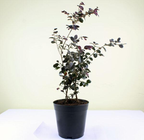 Buy Loropetalum chinense -Chinese Fringe Bush - Plant online Nursery Nisarga