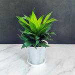 Buy Dracaena fragance compacta plant online - Nursery Nisarga