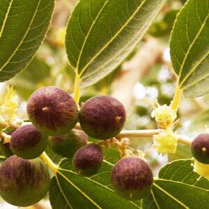 Buy Falsa, Phalsa plant (Grewia Asiatica) - Nursery Nisarga