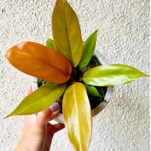 Buy Philodendron prince of orange