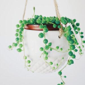 Buy String of pearls, Senecio Rowleyanus online