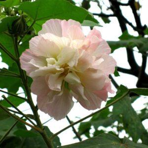 Buy Hibiscus Mutabilis, Confederate rose, Cotton rose