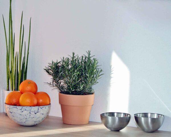 Buy Rosemary plant - Medicinal herb plant online from Nursery Nisarga