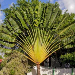 Buy Travellar Palm, Ravenala madagascariensis