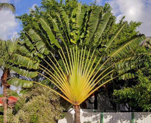 Buy Travellar Palm, Ravenala madagascariensis