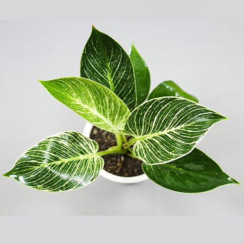 Buy Philodendron Birkin - Nursery Nisarga