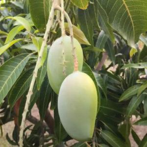 Buy Gir Kesar Mango, Kesar aam - grafted plant online - Nursery Nisarga