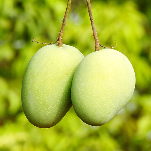 Buy Lagda Aam, Mango Grafted Plant - Nursery Nisarga