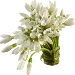 Tuberose Bulbs, Rajnigandha plant online
