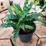 Buy Calathea rufibarba, furry faether calathea online - Nursery Nisarga